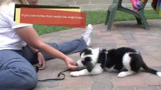 Puppy Clicker Training: Sit, Down, And Stand