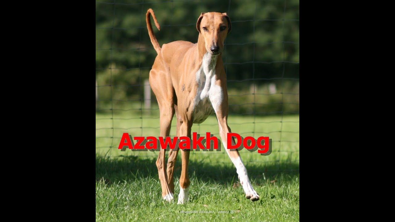 Breed Dog Azawakh You