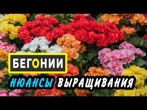 БЕГОНИИ- ампельные и вечноцветущие,из семян ,клубнелуковиц и черенков.