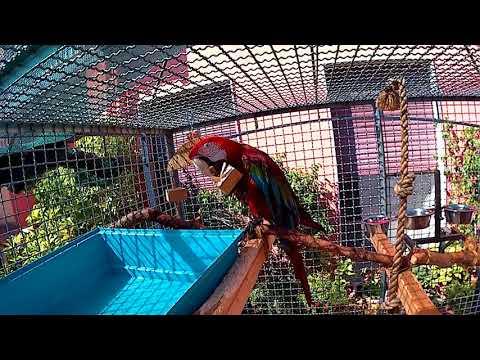Risultati immagini per Ara chloropterus cage