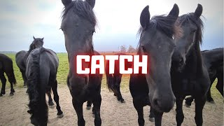 Catch 2 horses. They are all together | Friesian Horses