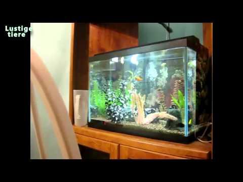 Lustige Katzen Vs Aquarium Kompilierung Juli 2014
