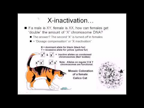 X inactivation