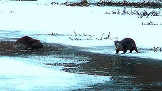 Otters and Beaver @ Chain of Lakes