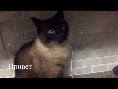 Фотографии Сиамская кошка порода кошек