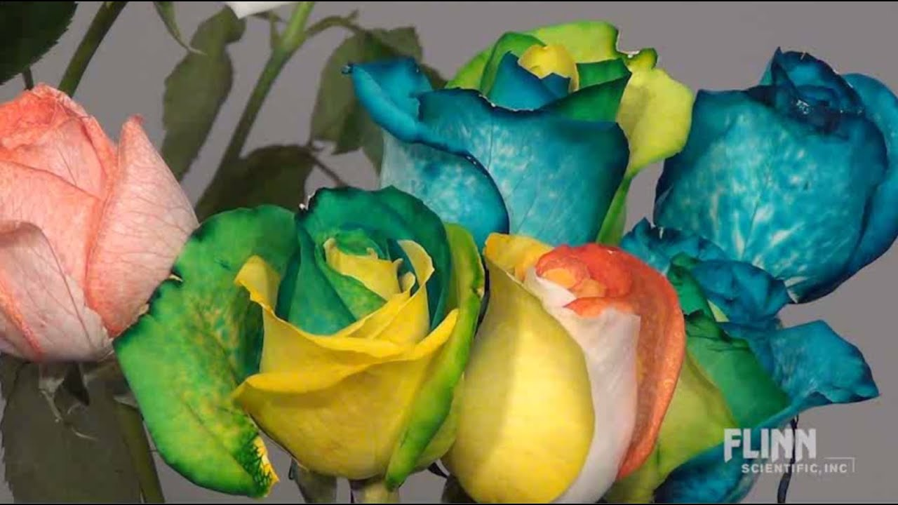How to make rainbow roses youtube for How to color roses rainbow