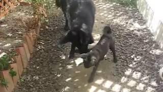 狼犬(ウルフドッグ)と甲斐犬の子犬が紙コップで遊んでます。 http://b...