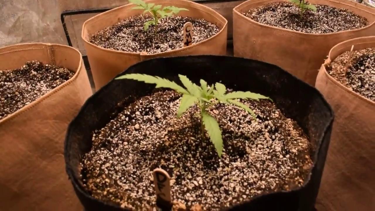 Indoor Grow - db003 PLS 315w cmh - super soil - 2x4 grow tent   The