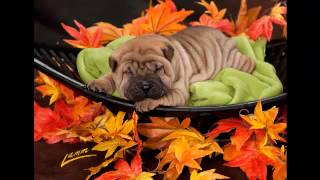 Tuck 'n Roll Acres | Shar Pei Breeder Usa | The Wrinkle Dog | Shar Pei Puppy