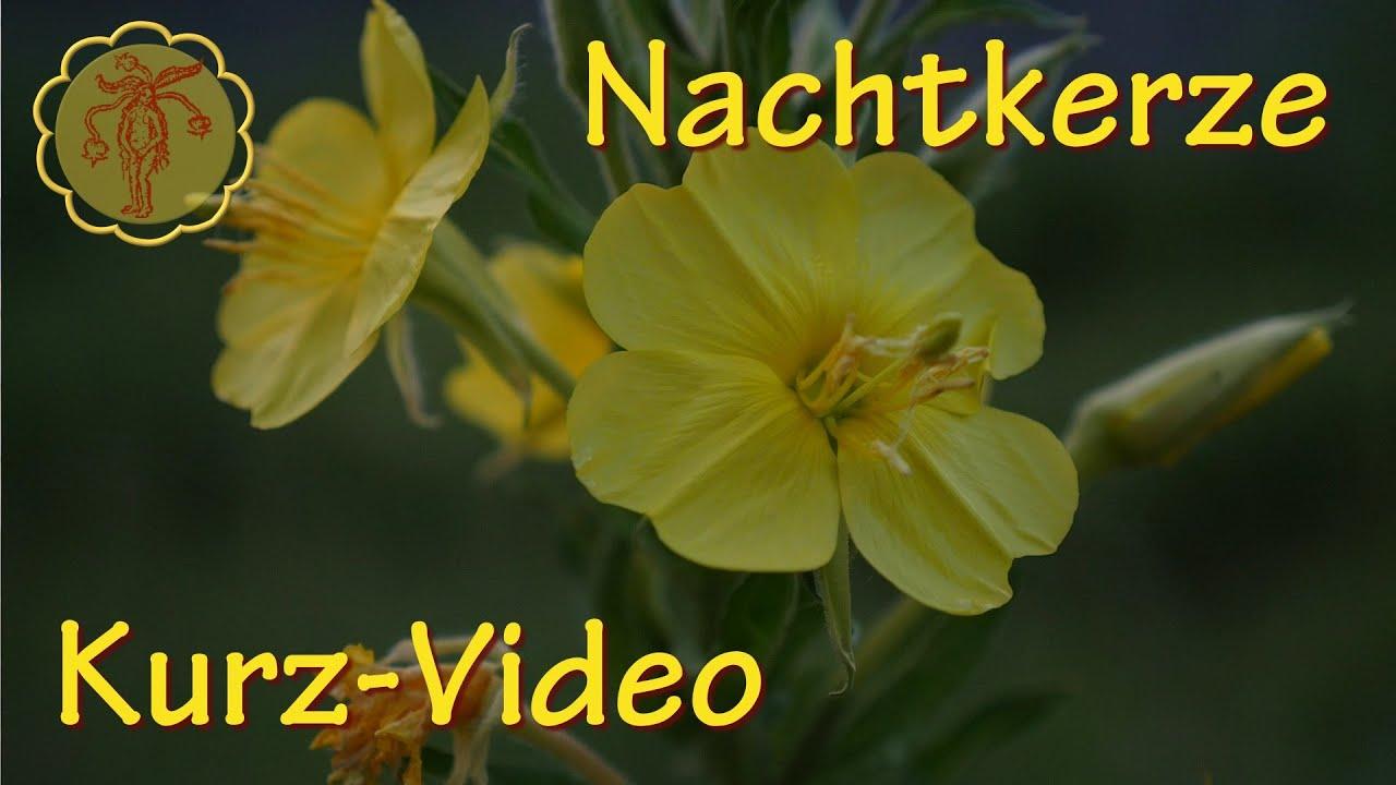 Heilpflanze: Nachtkerze - Kurz-Video - YouTube
