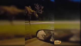 Those people are surprised with a big bull wandering streets at midnight in Alaska ...