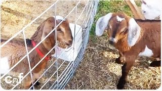 Baby Goat Stuck Behind Gate | The Great Escape