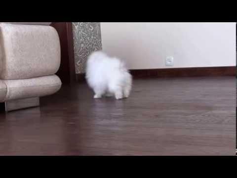 Померанский карликовый шпиц белого окраса.White Pomeranian dwarf.