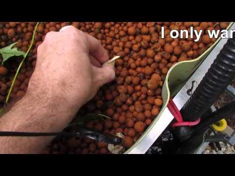 Planting Garlic in Aquaponic system… Mmmmmm, fish in garlic!!