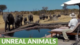 Surprise visit from wild elephants drink from pool