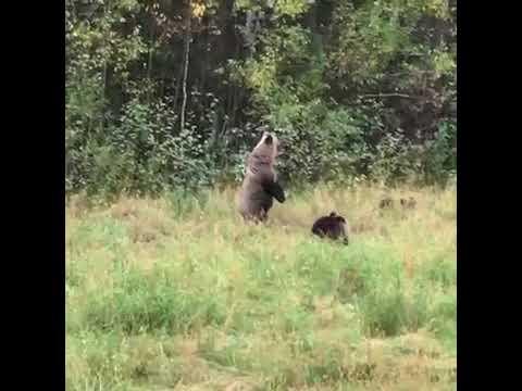 Медведица с медвежатами в поле  Кировская область. Видео: Ohotnadzorkirov.ru