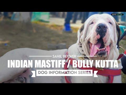 Indian Mastiff Dog Information Series Episode 01 Youtube