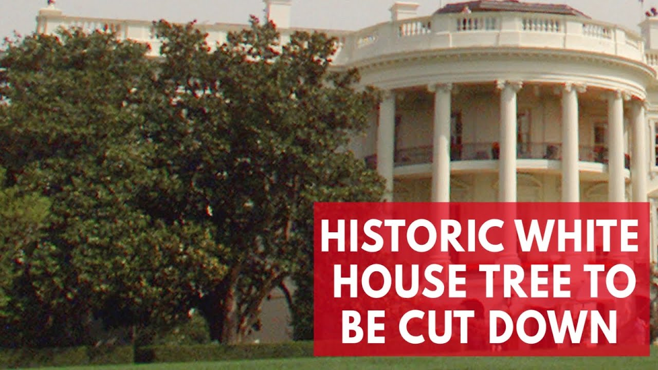 White Houses Iconic Jackson Magnolia Tree Will Be Cut Down Youtube