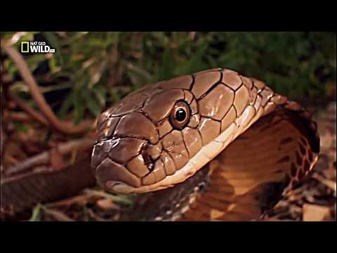 National Geographic Documentary - Snake King Cobra - Wildlife Animal
