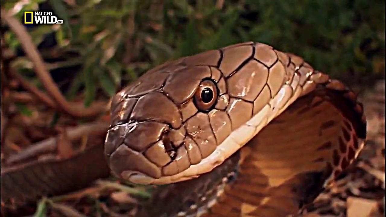 King Cobra Snake Photos: National Geographic Documentary