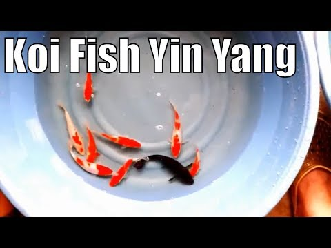 Japanese Koi Fish Yin Yang Meaning You Need To Know