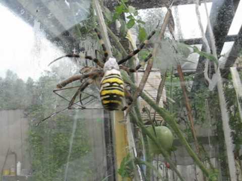 битва пауков  battle spiders