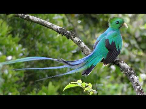Amazing Resplendent  quetzal