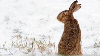 Охота на зайца троплением. Январь 2017. Пример охотничьей этики.