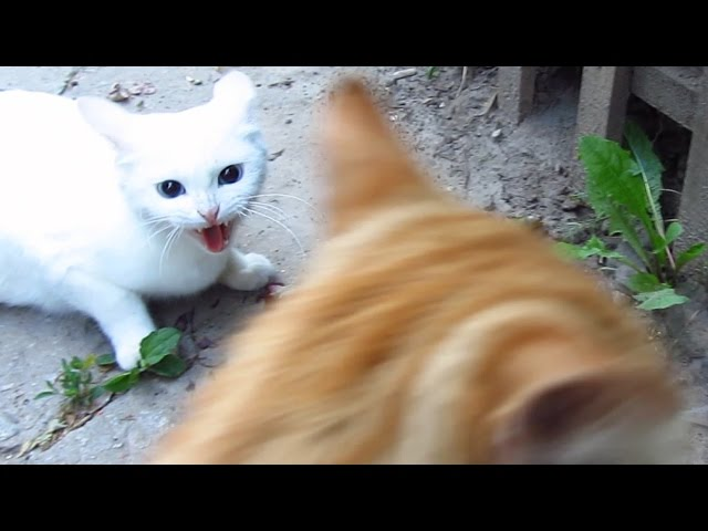 White cat very angry