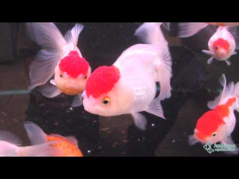 ОСАГО Росгосстрах золотые рыбки спб купить ответ