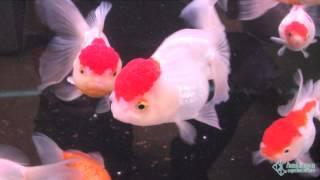 Купить крупных золотых рыбок оранд и жемчужинок в Петербурге