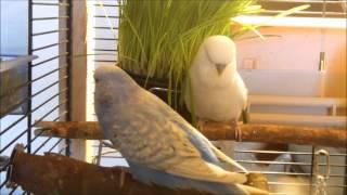 """Цезарь и Джулия """" Выставочные волнистые попугаи """" Чехи"""" Играют в траве"""