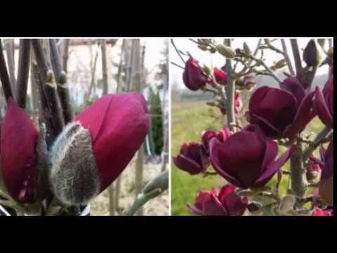 Как вырастить красавицу магнолию на даче