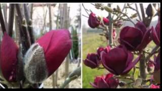 Как вырастить красавицу магнолию на даче сказочный сад уже этой весной!