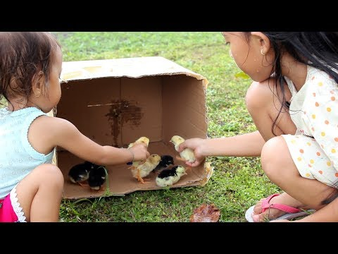 Horeee Anak Ayam Shinta Baru Menetas Lucu dan Imut - Our Chickens Are Hatching