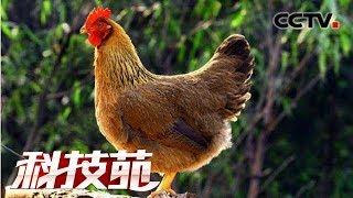 《科技苑》 20190703 吃石头的土鸡变金鸡| CCTV农业
