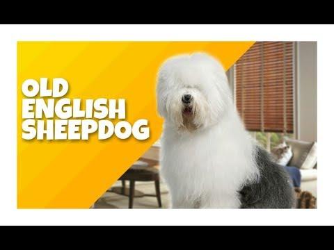 CONHEÇA O OLD ENGLISH SHEEPDOG - Cinobras TV - Tudo sobre Cinofilia.
