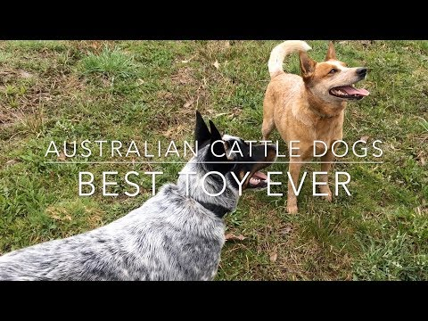 Australian Cattle Dogs - Johnson's Heelers play with the best toy ever