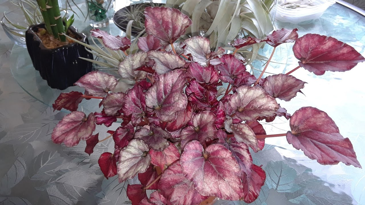 How I Grow Take Care Of My Begonia Rex Indoors Youtube