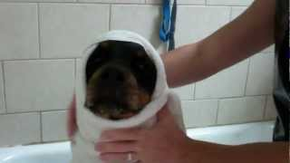 Rottweiler Goes To The Dog Wash