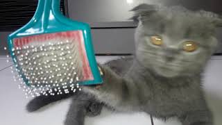 Шотландский котенок 3 месяца