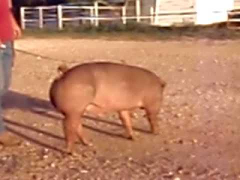 Lee Duroc Pig