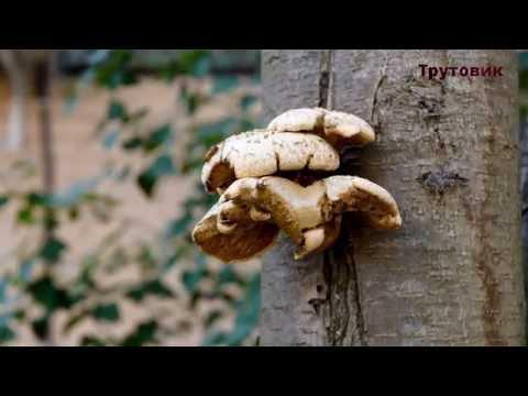 Вопрос: Какие грибы опасны для здоровья?