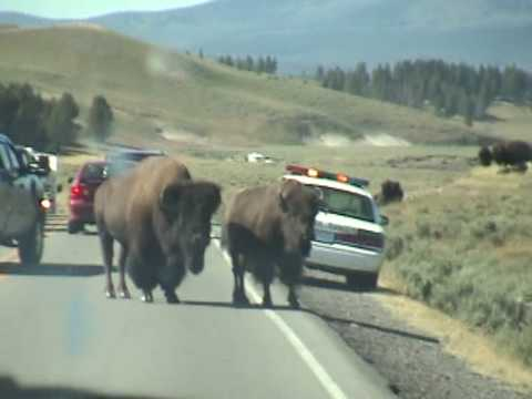 Yellowstone Bison scare