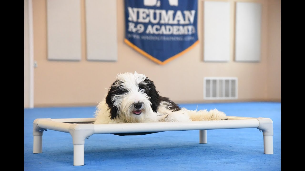 Moose (Mini Sheepadoodle) Puppy Camp Dog Training Video Demonstration