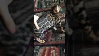 Окрас бенгальских кошек в 3 месяца