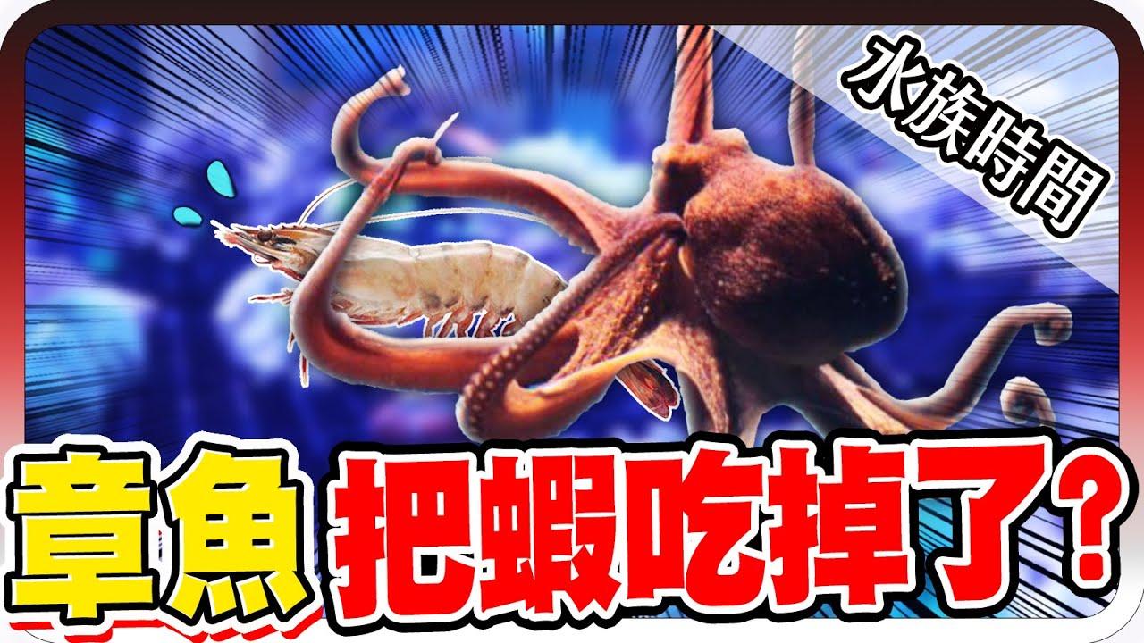 章魚餵食秀!竟然把蝦吃掉了?!|水族時間【黑羽】