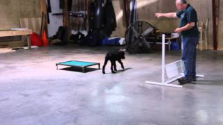 """Giant Schnauzer """"ceasar"""" Puppy Obedience Demo"""