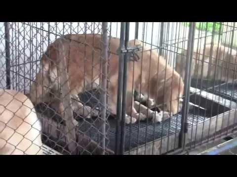 ฟาร์ม สุนัข โกลเด้น รีท เชียงใหม่