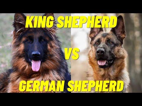 King Shepherd Vs German Shepherd - The difference between the two dog breeds
